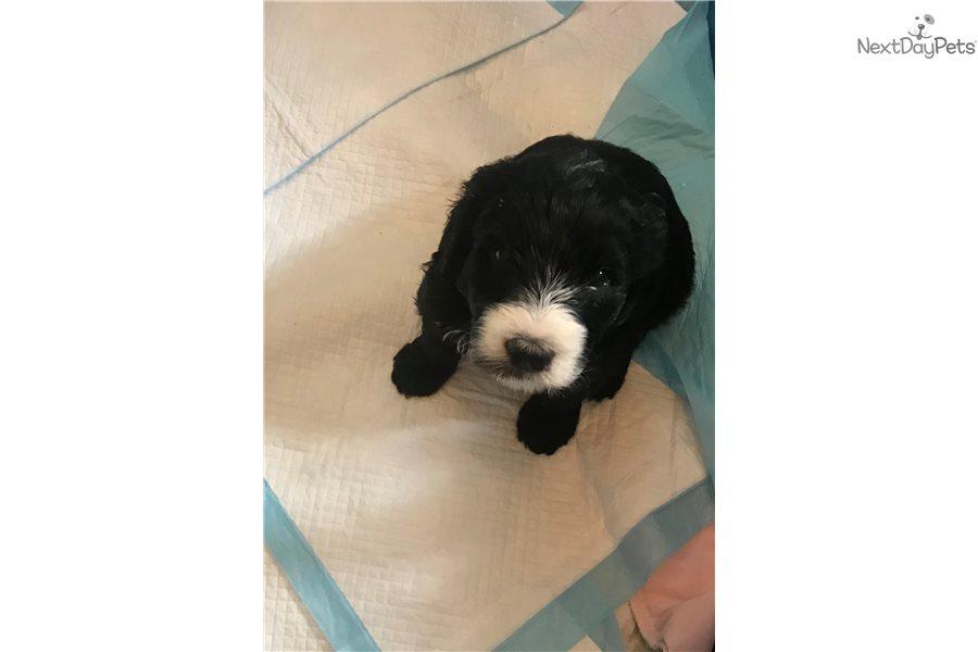 Drake: Sheepadoodle puppy for sale near Atlanta, Georgia | 5ed296b9-5161