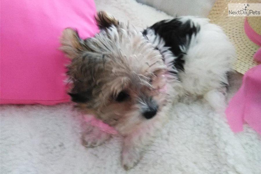 Princess Biewer Terrier Puppy For Sale Near Tampa Bay