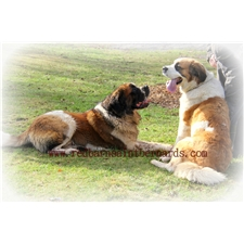 View full profile for Red Barn Saint Bernards