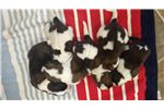 Picture of Dixie's Pups Born Nov 16th 2018