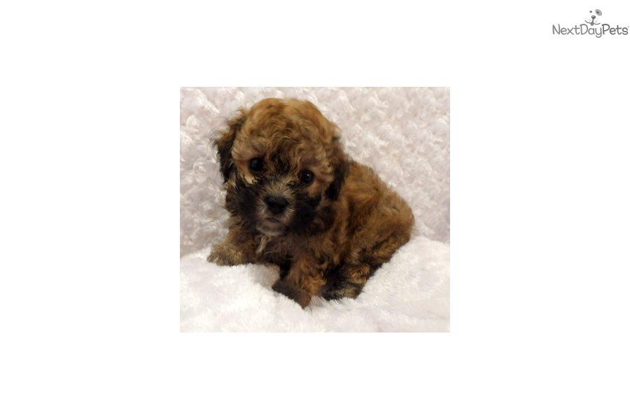 Malti Poo - Maltipoo puppy for sale near Fort Smith, Arkansas