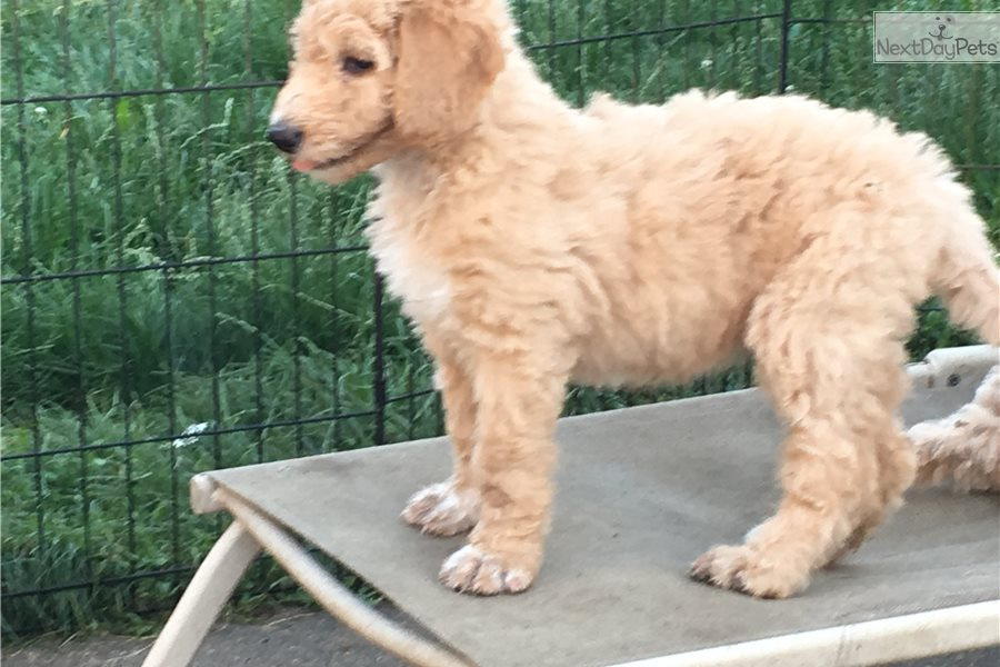 Four Paws Labradoodle Puppy For Sale Near Detroit Metro Michigan