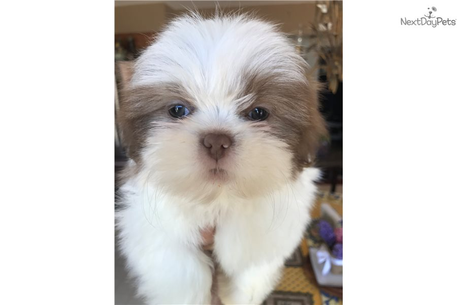 Finn Shih Tzu Puppy For Sale Near Detroit Metro Michigan