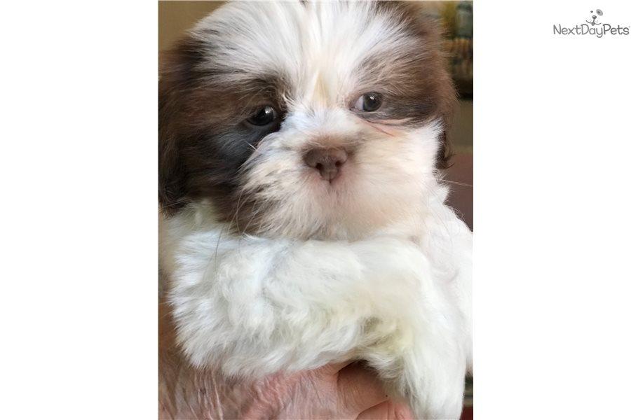 Odie Shih Tzu Puppy For Sale Near Detroit Metro Michigan