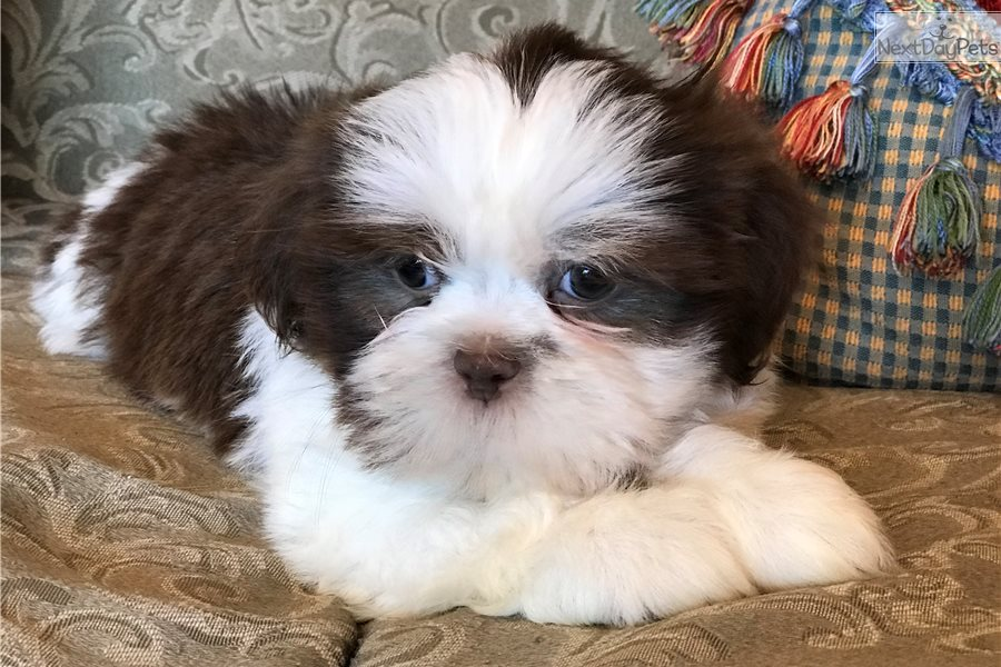 Marvin Shih Tzu Puppy For Sale Near Detroit Metro Michigan