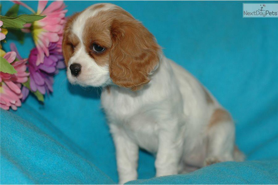 Female 1 Cavalier King Charles Spaniel Puppy For Sale Near Long