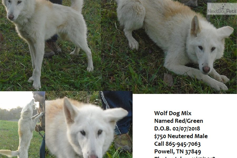 Redgreen: Wolf Hybrid puppy for sale near Knoxville, Tennessee