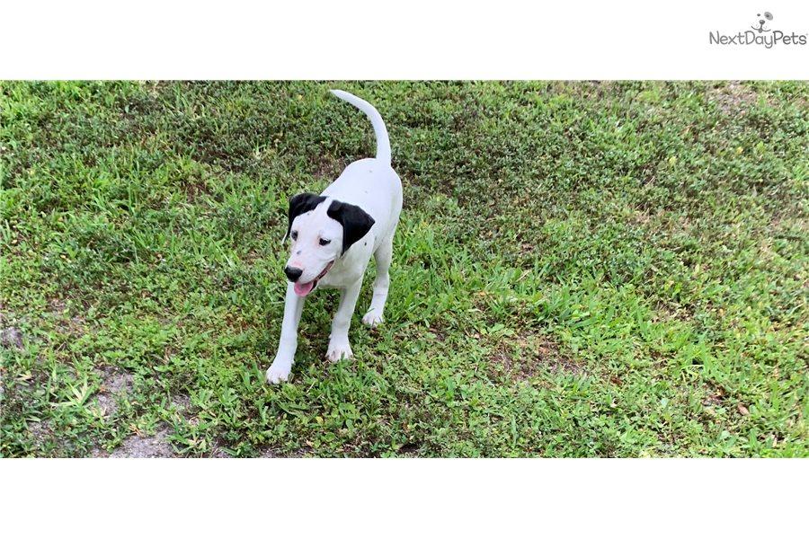 Dalmatian puppy for sale near Orlando, Florida | 269bdefd-c8b1