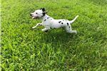 Picture of AKC dalmatian puppies - health/hearing guaranteed