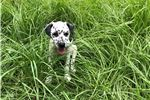 Picture of AKC dalmatian female - health/hearing guarantee