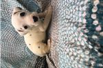 Picture of AKC dalmatian pups - video clip available