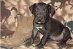 Picture of South African Boerboel/Great Dane Black Female