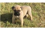 Picture of Beautiful AKC Bullmastiff Puppies – Only 2 Left!