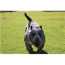 View full profile for Vegas Bully Kennel