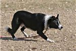 Picture of ABCA Registered Female Border Collie Puppy