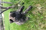 Picture of Dutch Shepherd/Belgian Malinois Puppies