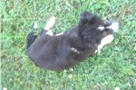 Picture of AKC Miniature American Shepherd puppy