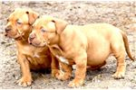 Picture of ChimeraXL Bullies