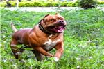 Picture of Reason Why Our XL American Bully Puppy Is Popular