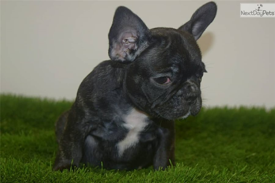 Hpf Rolex: French Bulldog puppy for sale near New York ...