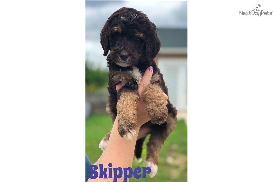 Skipper Bernedoodle Puppy For Sale Near Austin Texas