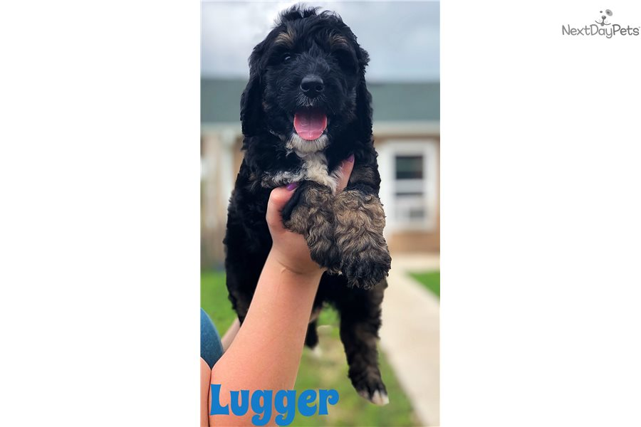 Lugger Bernedoodle Puppy For Sale Near Austin Texas