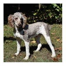View full profile for Family Standard Poodles