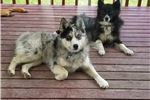 Featured Breeder of Pomskies with Puppies For Sale