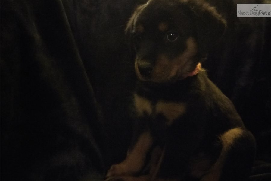 Rottweiler Puppy For Sale Near Denver Colorado 3bb660ca 7fe1