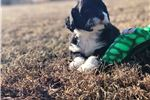 Picture of Portuguese water dog puppy