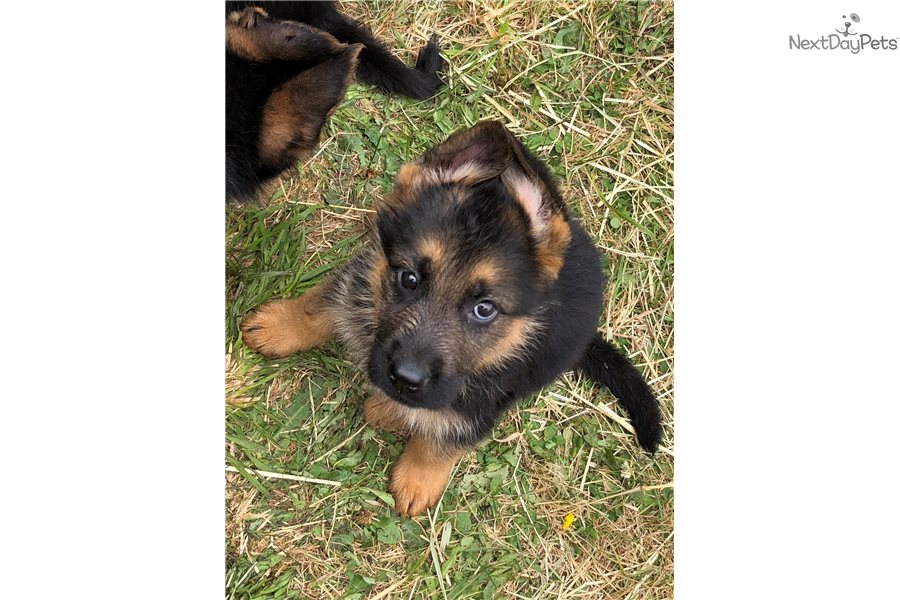 Gavin German Shepherd Puppy For Sale Near Portland Oregon