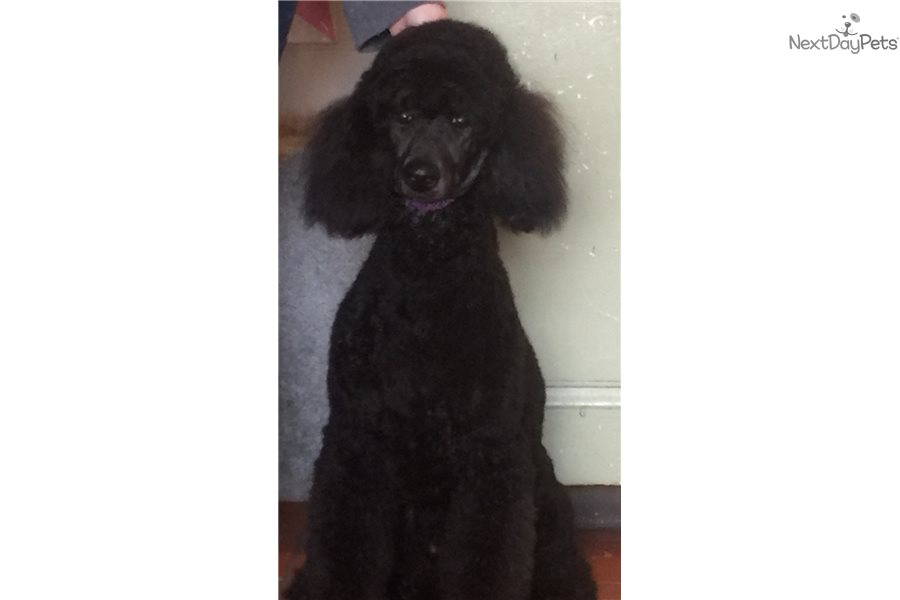 Cleo: Poodle, Standard puppy for sale near Maine | 5062e3cf-5cb1