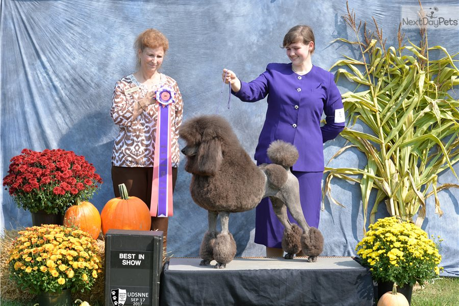 Poodle, Standard puppy for sale near Maine. | 65706d33-b931