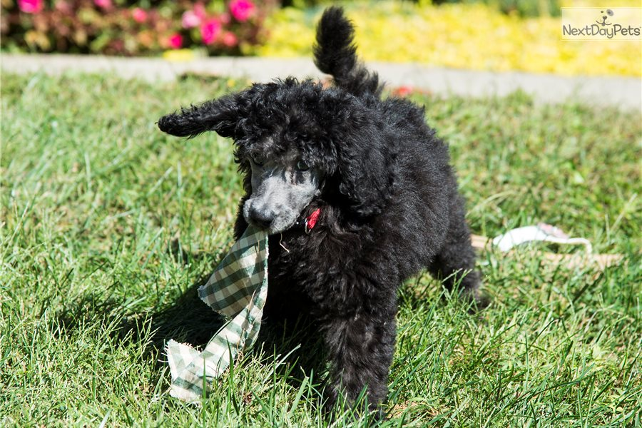 Poodle Standard Puppy For Sale Near Maine 65706d33 B931