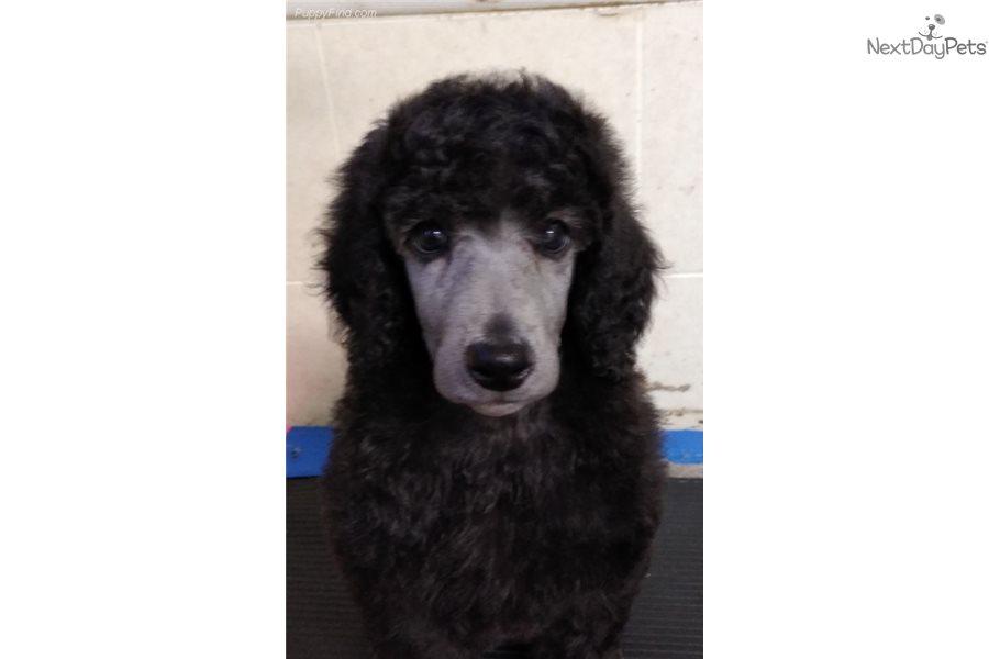 Bernice Poodle Standard Puppy For Sale Near Maine