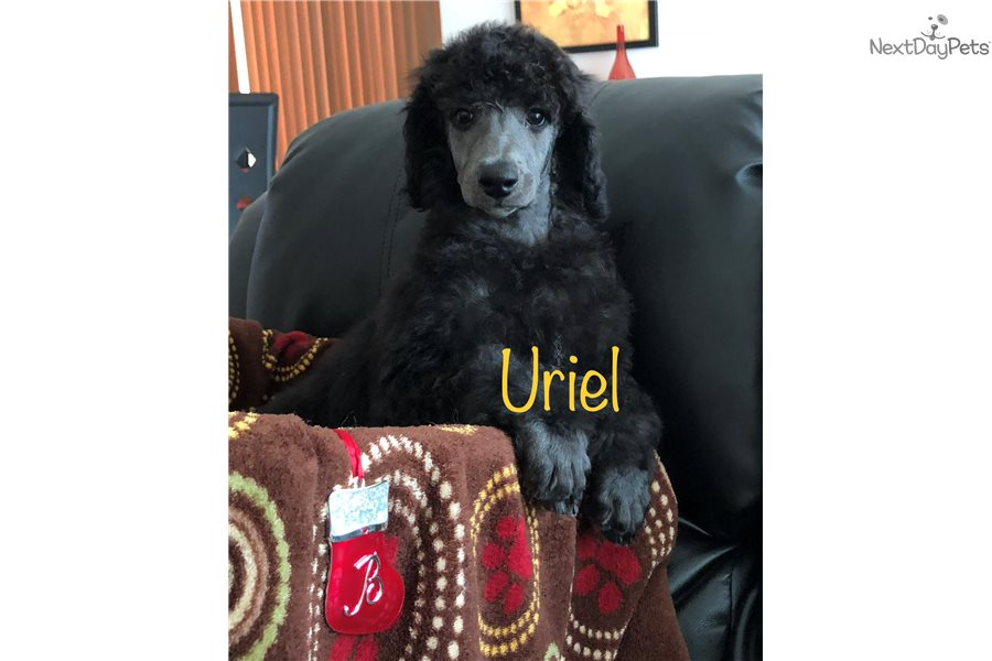 Poodle, Standard puppy for sale near Maine | e8c07252-9f41