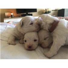 View full profile for Butter Puff Puppies