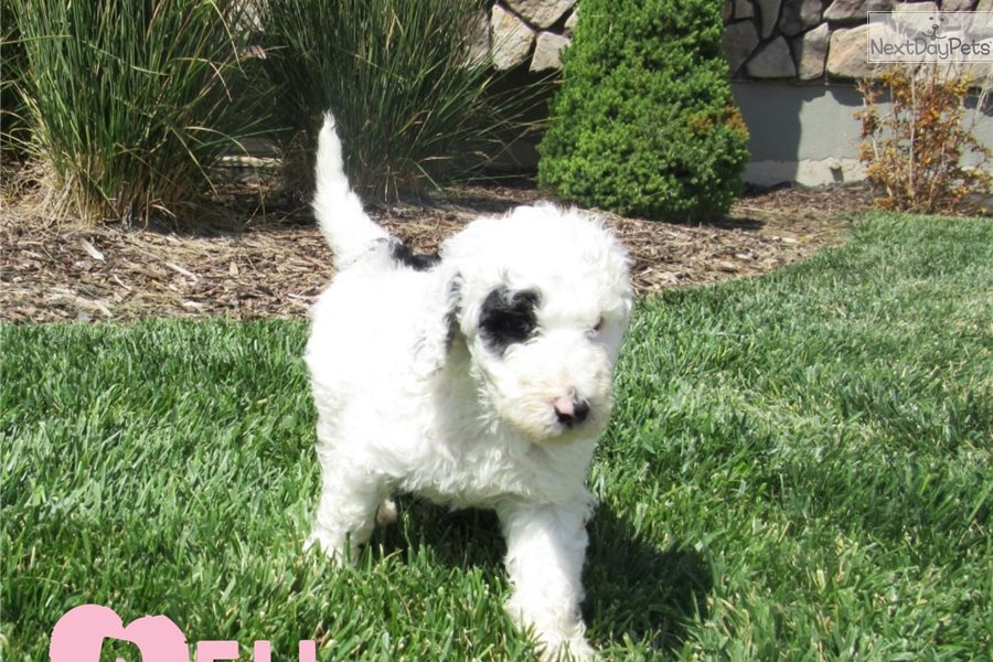 Bell: Sheepadoodle puppy for sale near East Idaho, Idaho | 96249b1d-c6f1
