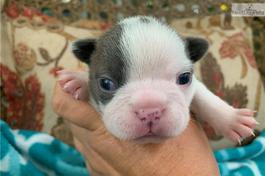 Boston Terrier puppy for sale near Tampa Bay Area, Florida