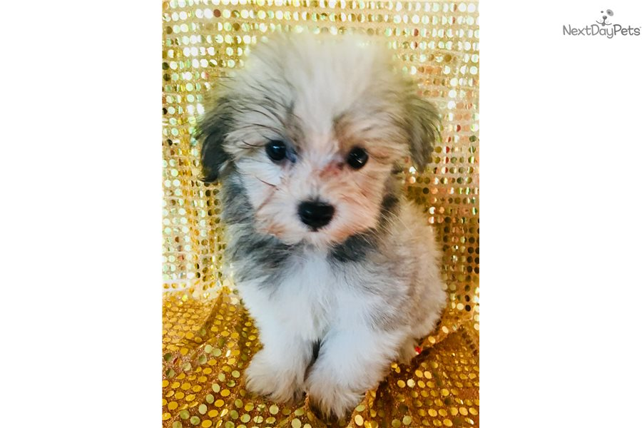 Havanese puppy for sale near Gulfport / Biloxi ...