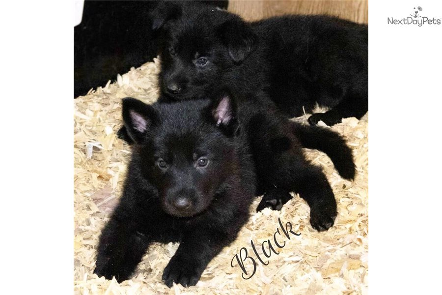 Male 1 German Shepherd Puppy For Sale Near Los Angeles California