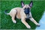 Picture of Belgian Malinois Male Puppy