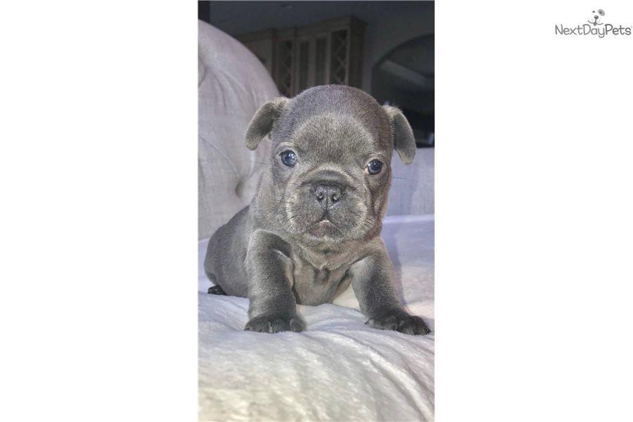 French Bulldog Puppy For Sale Near Lancaster Pennsylvania