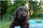 Picture of Chocolate Doodle!