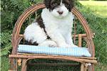 Picture of Portuguese Water Dog Puppies