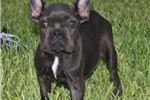 Picture of 5 Month Old Blue French Bulldog Female