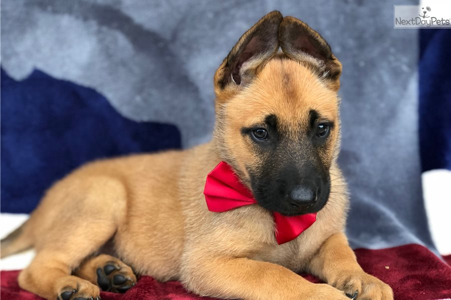 Belgian Malinois puppy for sale | Hungary