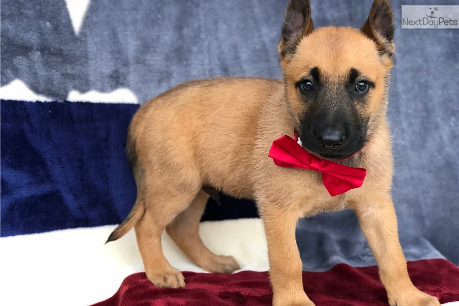 Magnus: Belgian Malinois puppy for sale near In Netherlands