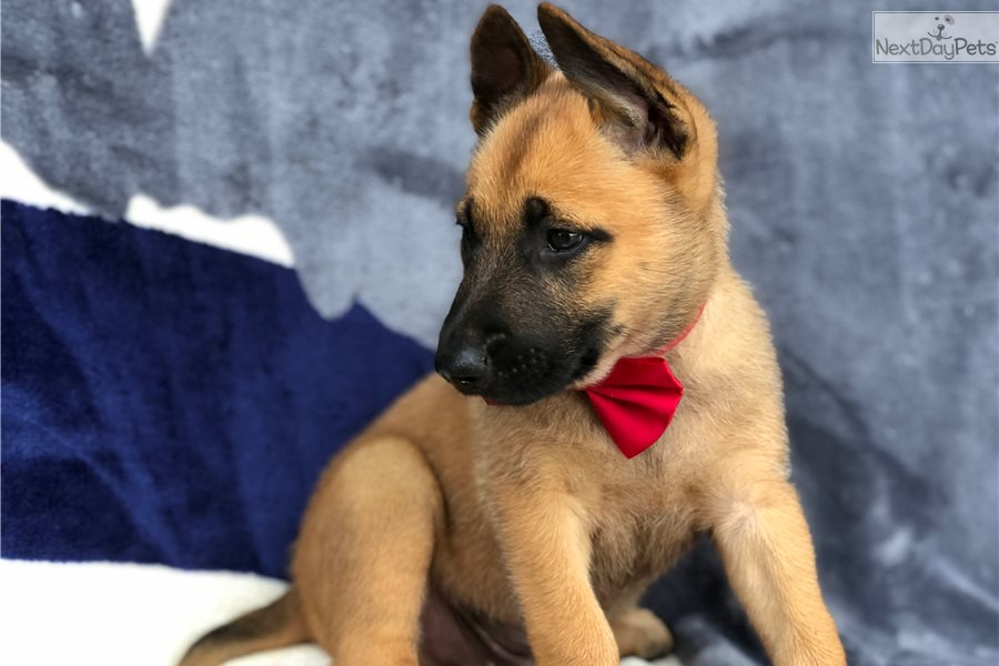 Buy Belgian Malinois Puppy For Sale In India