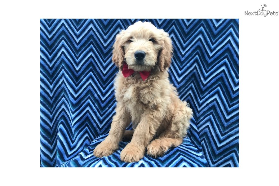 Jay: Goldendoodle puppy for sale near Lancaster